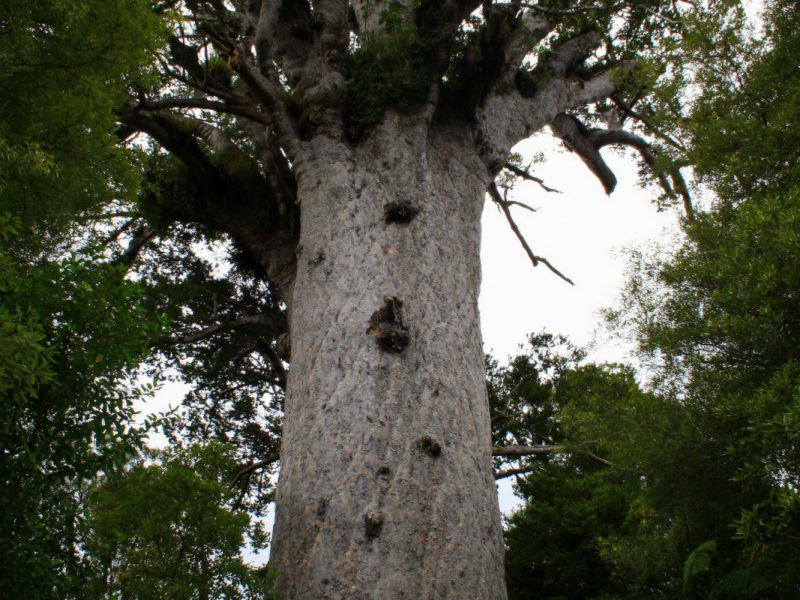 Kauri Coast Experience - Featured Image